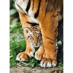 Mláďatko bengálského tigra