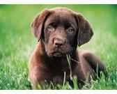 Šteniatko hnedého labradora