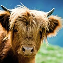 Krava náhorného dobytka
